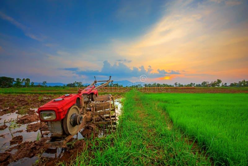 Röd maktrorkult i risfält royaltyfria foton