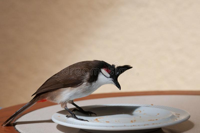 Röd-med polisonger bulbul, Pycnonotus jocosus, Mauritius royaltyfri fotografi