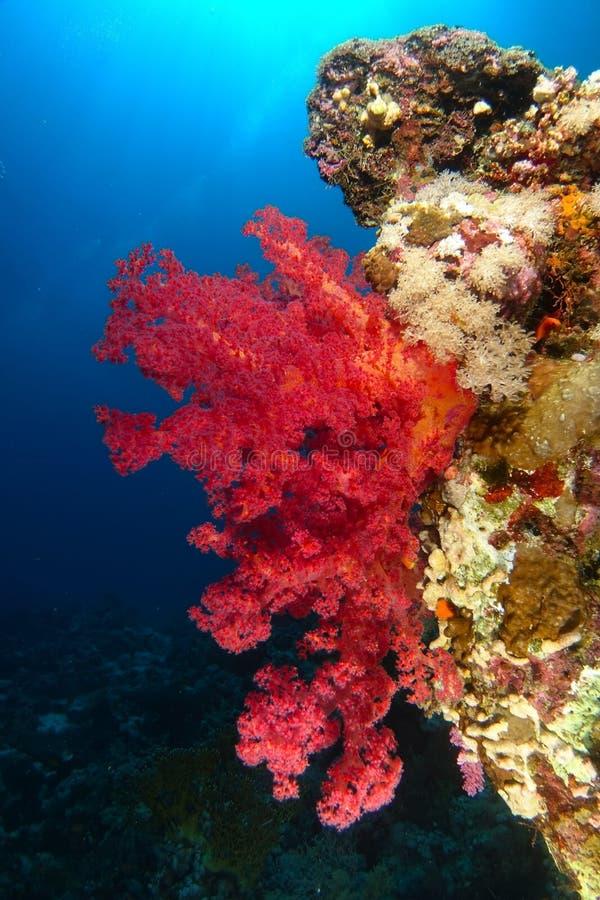 Röd mjuk korall över reven i dramatiskt ljus royaltyfri bild
