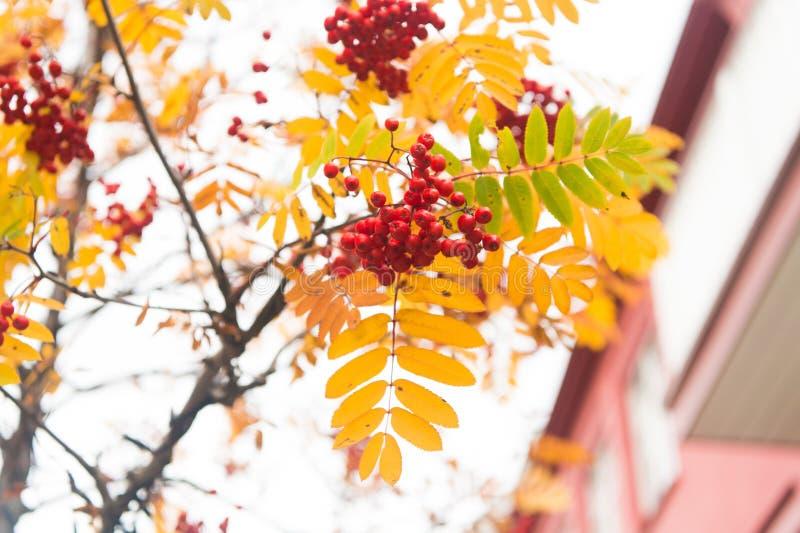 Röd mogen grupp av rönnen med gröna rönnsidor i höst höstlig färgrik röd rönnfilial grupp av orange ashberry royaltyfri fotografi