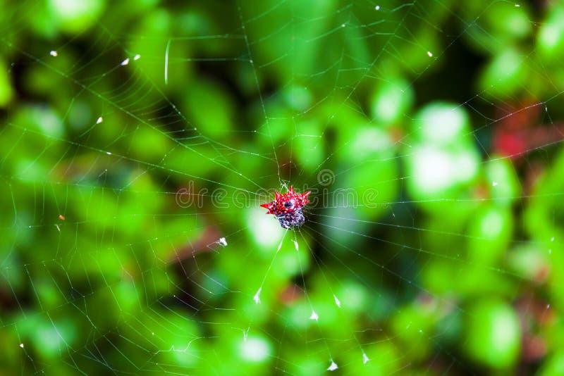 Röd mycket liten spindel för taggig Orb i en rengöringsduk arkivfoton