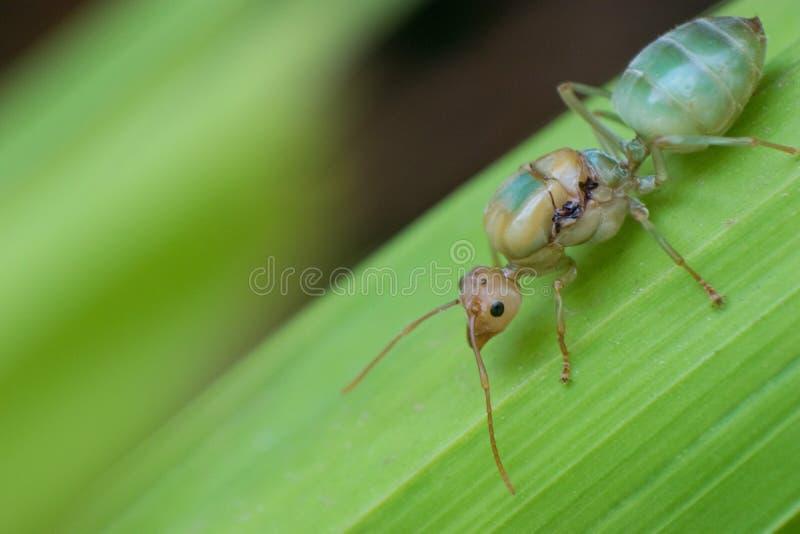 Röd myra för drottning arkivfoto