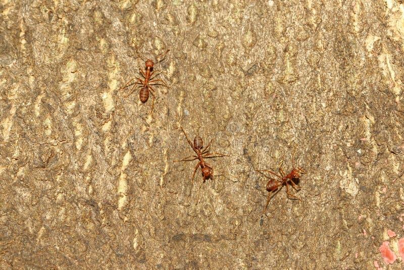 Röd myra för grupp på träd arkivfoton