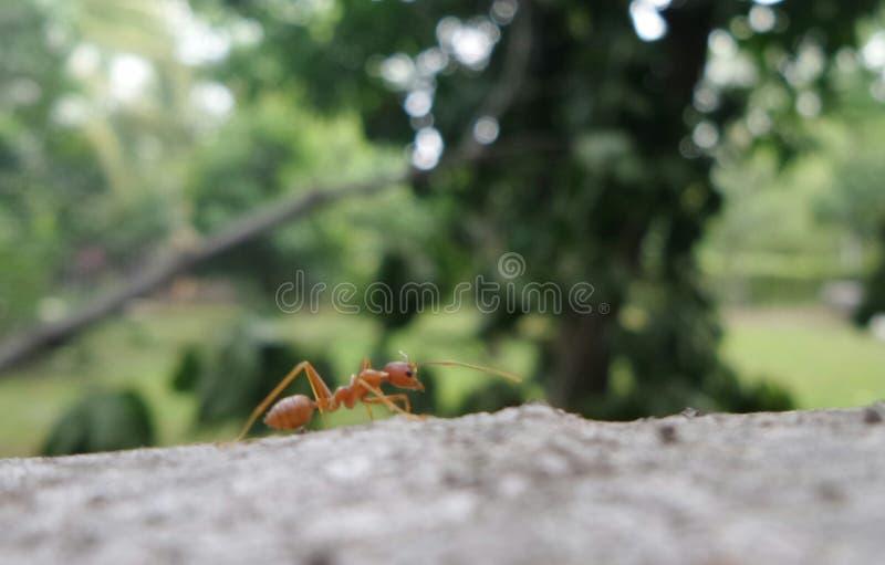 Röd myra på fallande träd i trädgården royaltyfri fotografi