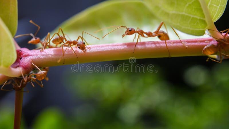 Röd myra på träd royaltyfri fotografi