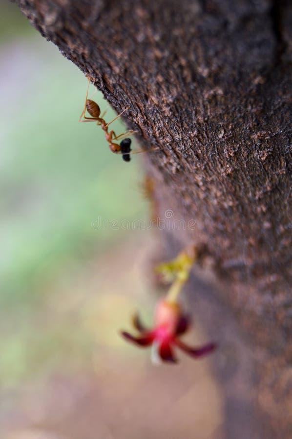 Röd myra på trädet fotografering för bildbyråer