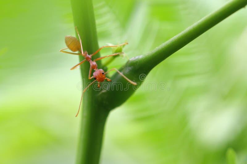 Röd myraOecophylla smaragdina royaltyfri fotografi