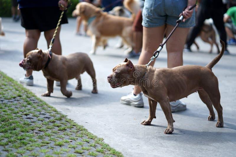 Röd näsPitbull hund med kantjusterade öron som står med hans ägare royaltyfri foto