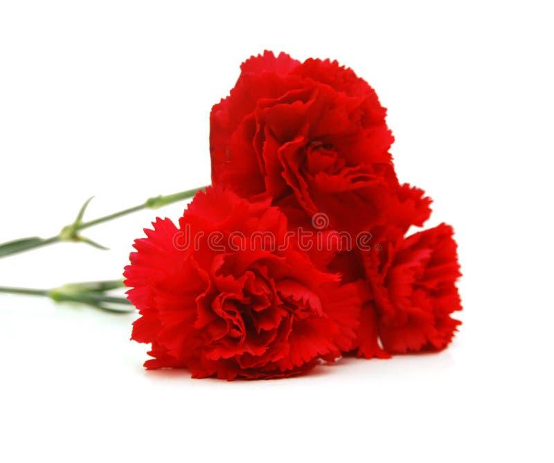 Röd nejlika royaltyfria bilder