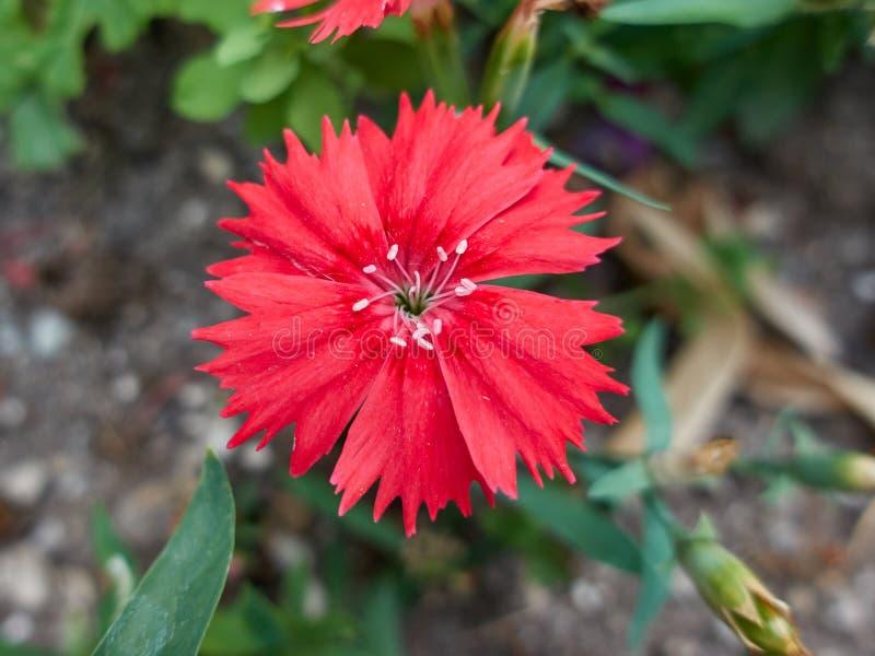 Röd nejlika i blom arkivbild