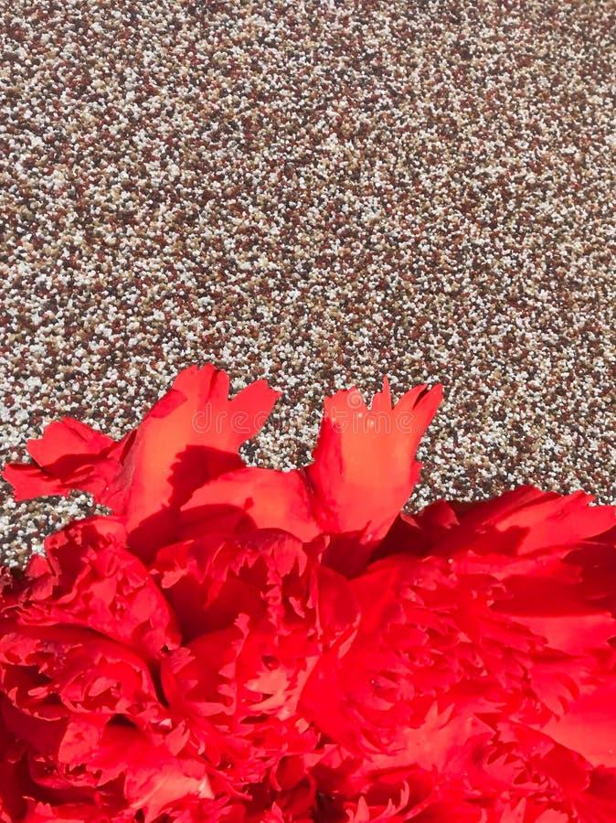 Röd nejlika på brun jackstonebakgrund royaltyfria foton