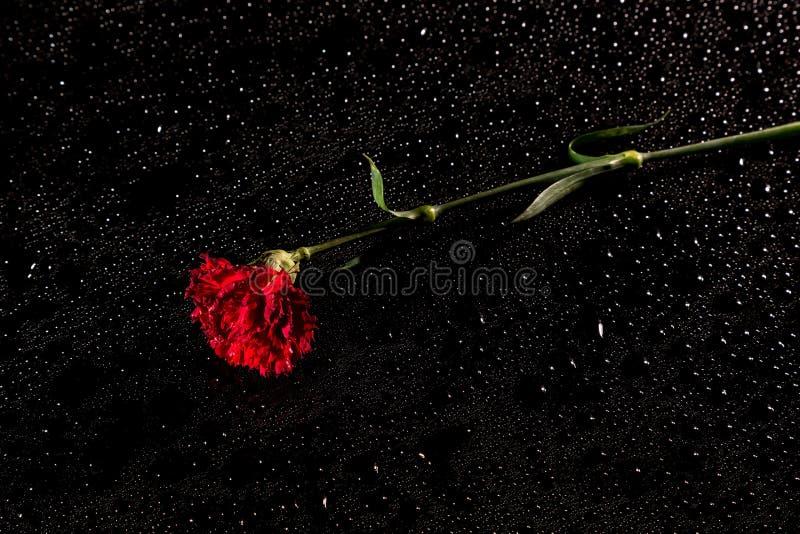 Röd nejlika på en svart reflekterande bakgrund med droppar av vatten arkivfoto