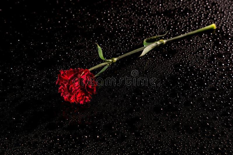 Röd nejlika på en svart reflekterande bakgrund med droppar av wat arkivfoto