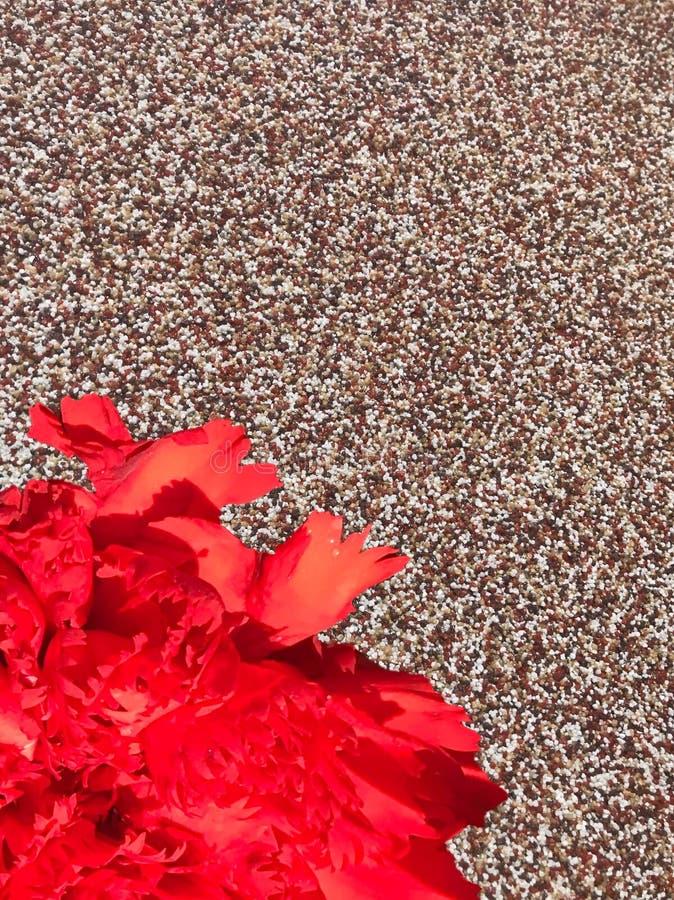 Röd nejlika som är längst ner av jackstonebakgrund royaltyfri bild