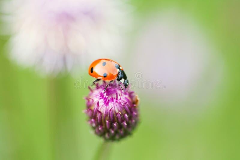 Röd nyckelpiga Damfågel på en bästa blått, violett blomma royaltyfria foton
