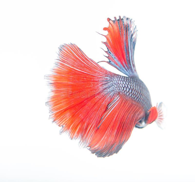 Röd och blå fisk arkivfoton