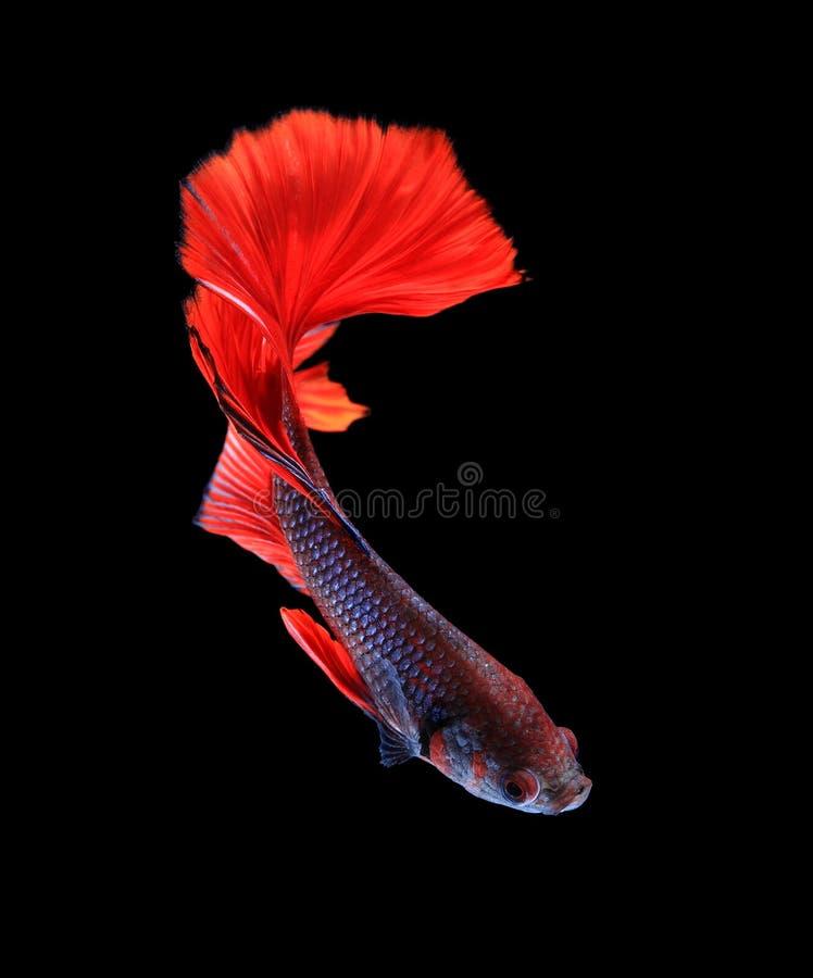 Röd och blå siamese stridighetfiskhalfmoon, bettafiskisolat royaltyfri fotografi