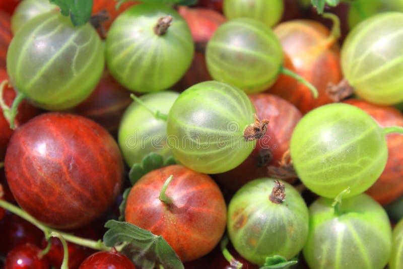 Röd och grön krusbärcloseup, bakgrund, makrofoto royaltyfri foto