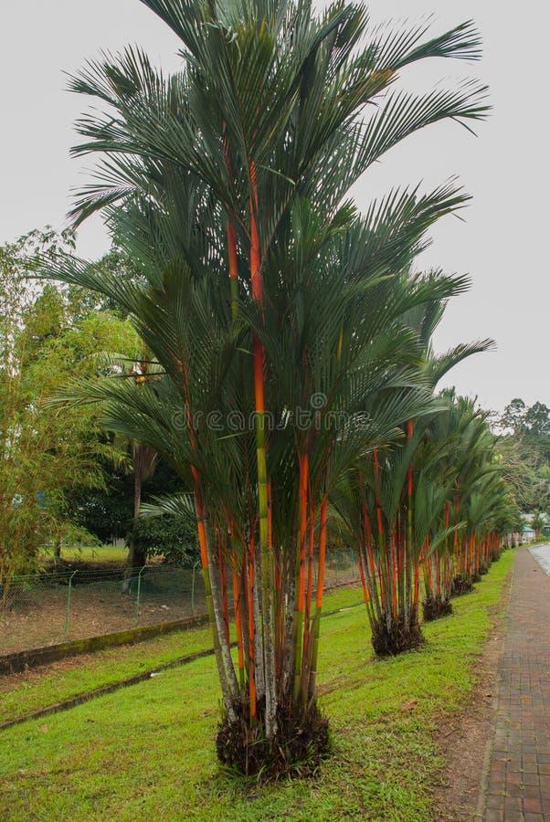 Röd och grön ny sockerrör i trädgård Borneo Malaysia royaltyfri fotografi
