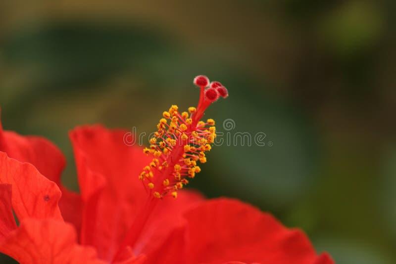 Röd och gul blomma arkivbilder