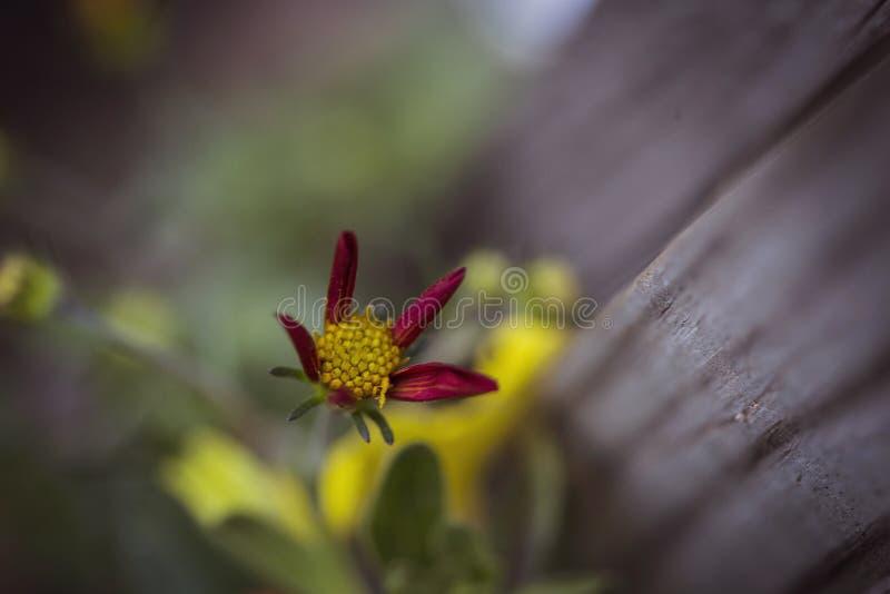 Röd och gul knoppningblomma royaltyfri bild