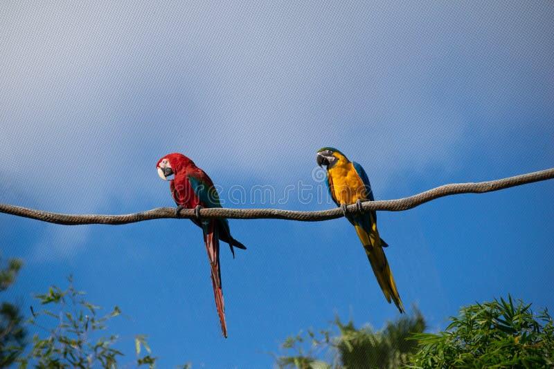 Röd och gul papegoja som genomborras på vinstockar arkivbild