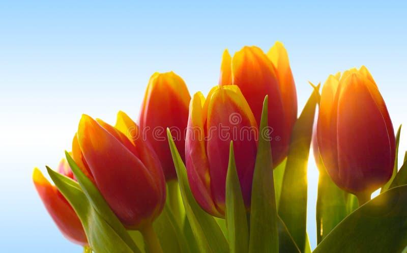Röd och gul tulpanbakgrund med solsignalljuset arkivbild