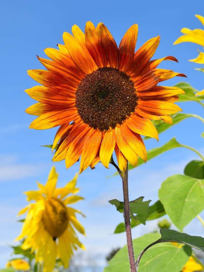 Röd och guld- solros på nedgångdag i Littleton, Massachusetts, Middlesex County, Förenta staterna New England nedgång arkivfoton