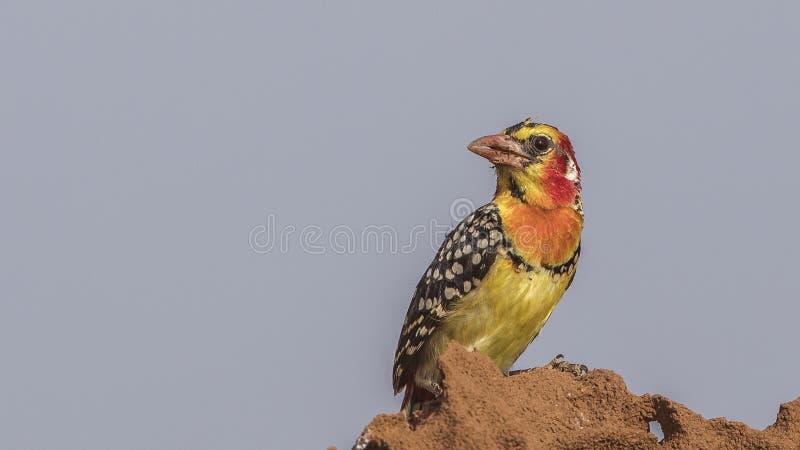 Röd-och-guling Barbet på termitrede royaltyfri foto