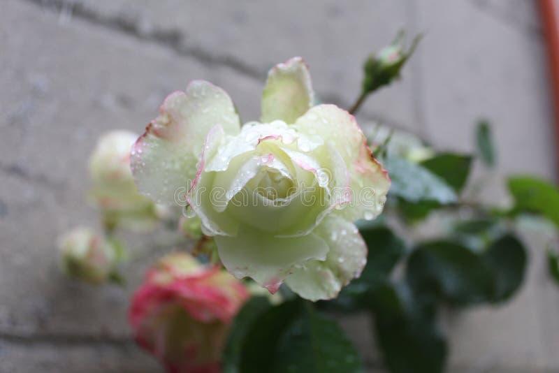 Röd och rosa ros efter regnet med vattensmå droppar royaltyfria bilder