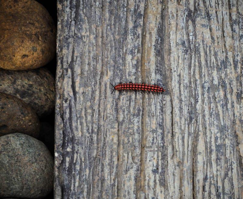 Röd och svart larv royaltyfria foton