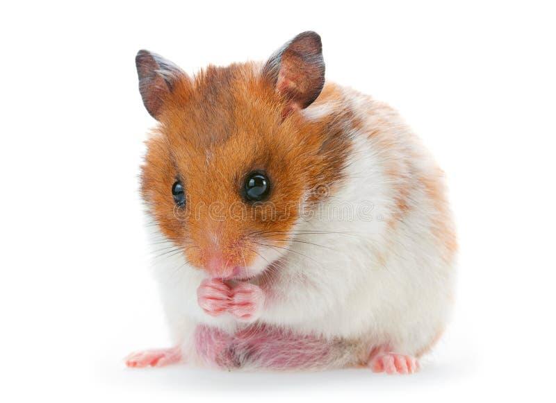 Röd och vit hamster arkivfoto