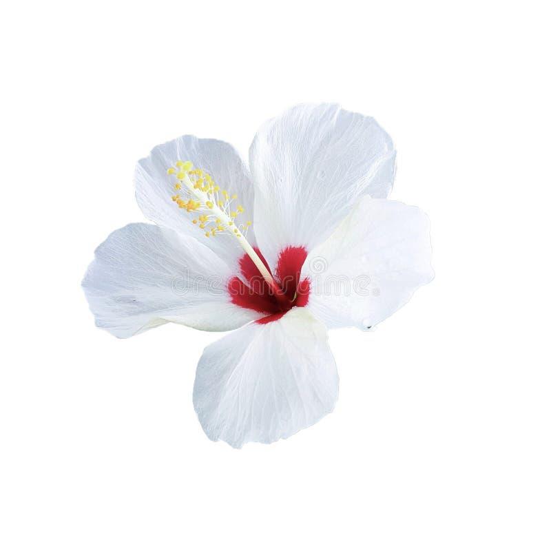 Röd och vit hibiskusblomma royaltyfria bilder