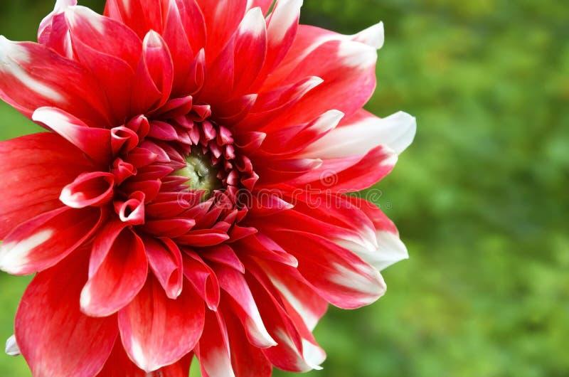 Röd och vit kulör dahliablomma i trädgården Blom- bakgrund f?r sommar med kopieringsutrymme fotografering för bildbyråer