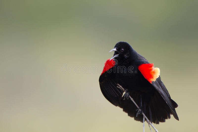 Röd-påskyndad koltrast, Agelaiusphoeniceus royaltyfri bild
