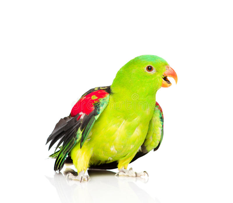 Röd-påskyndad papegoja (den Aprosmictus erythropterusen) framme isolerat arkivfoton