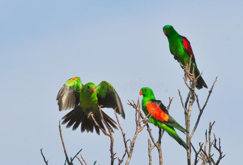 Röd-påskyndade papegojor royaltyfri fotografi