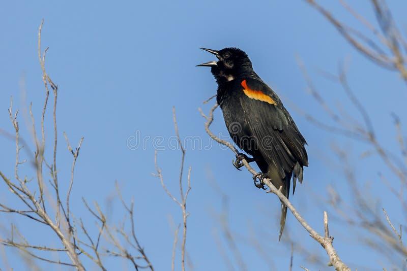 Röd-påskyndat sjunga för Blackbird royaltyfria bilder