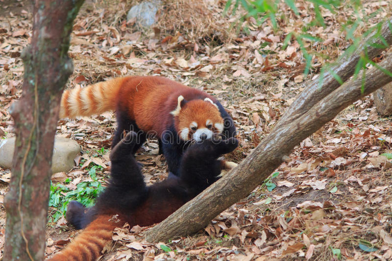 Röd panda arkivbilder