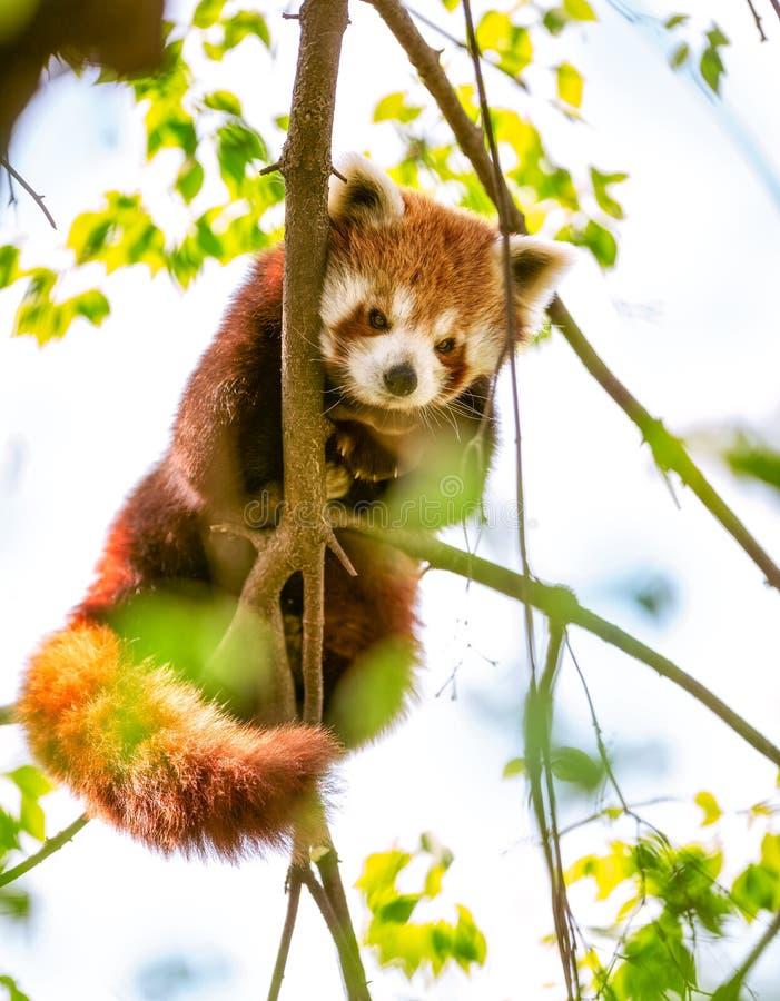 Röd panda eller Lesser Panda arkivfoton