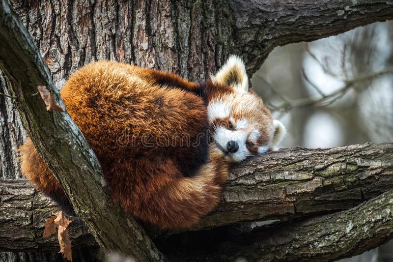 Röd panda, Firefox eller Lesser Panda royaltyfria bilder