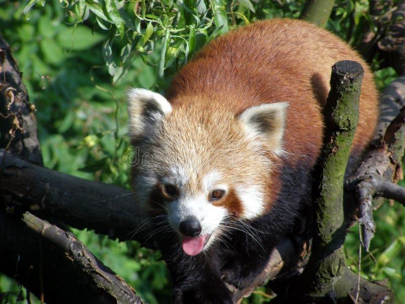 Röd panda i den Ostrava zoo royaltyfri bild