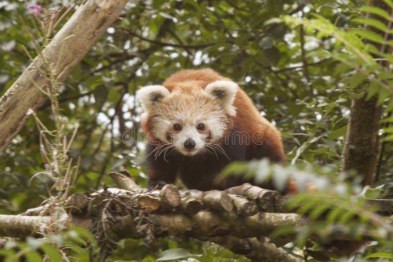 Röd panda, Lesser Panda, också bekanta Catbear Ailurusfulgens royaltyfria bilder