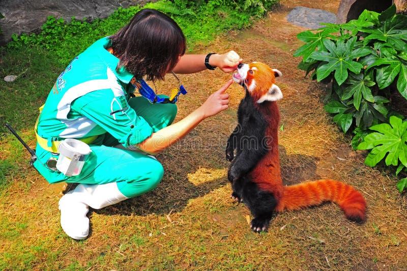 röd panda och instruktör arkivfoto