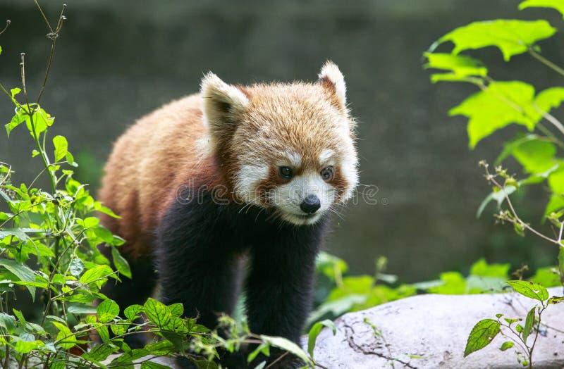Röd panda på zoo i Chengdu, Kina royaltyfri bild