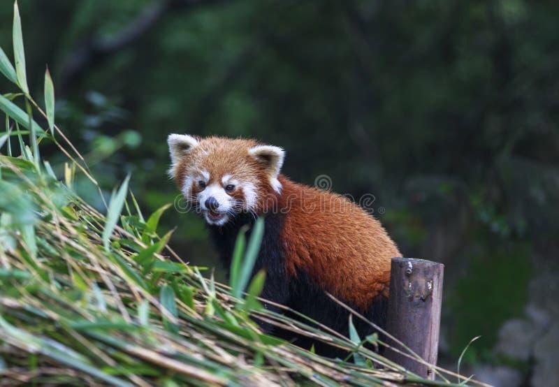 Röd panda på zoo i Chengdu, Kina royaltyfria foton
