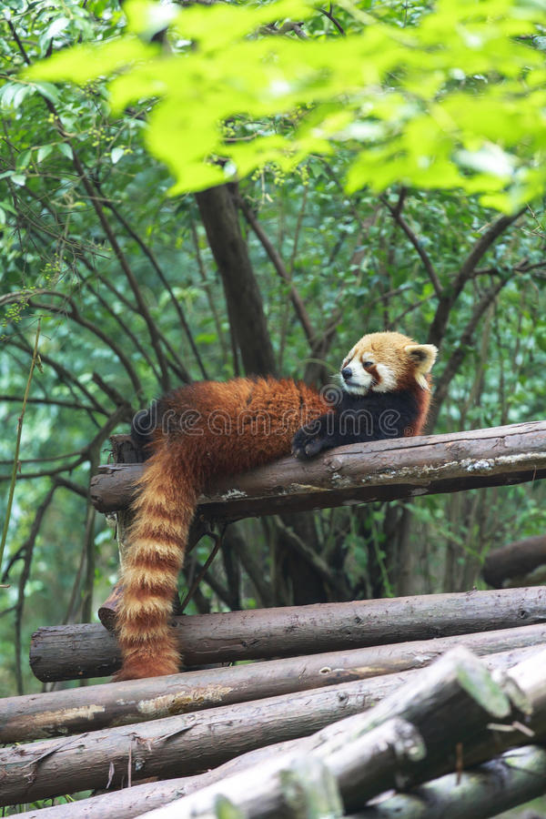 Röd panda på zoo i Chengdu, Kina royaltyfria bilder