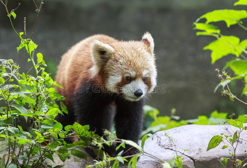 Röd panda på zoo i Chengdu, Kina arkivfoton