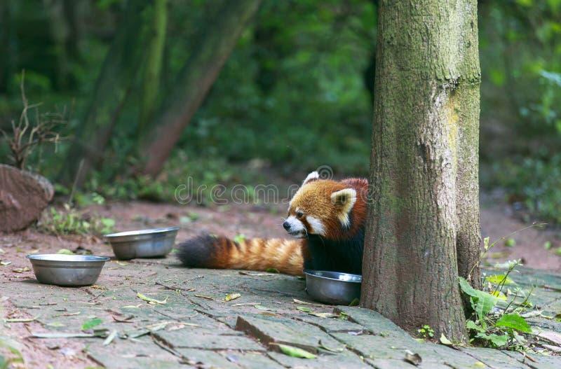 Röd panda på zoo i Chengdu, Kina royaltyfri foto