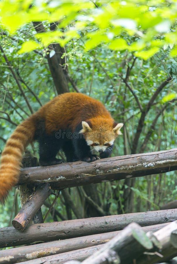 Röd panda på zoo i Chengdu, Kina fotografering för bildbyråer